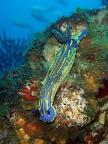 Hypselodoris picta on SS Rosslyn, 300412.JPG