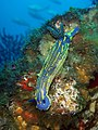 Hypselodoris picta on SS Rosslyn, 300412.JPG