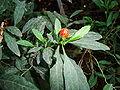 IKAl Solanum capsicastrum.jpg