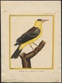 Icterus mexicanus - 1700-1880 - Print - Iconographia Zoologica - Special Collections University of Amsterdam - UBA01 IZ15800213.tif