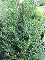 Ilex crenata Chesapeake 0zz.jpg