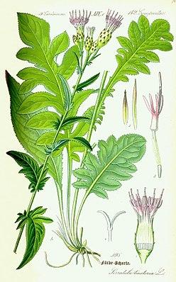 Färberscharte (Serratula tinctoria)