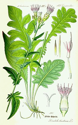 Illustration Serratula tinctoria0.jpg
