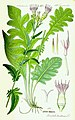 Illustration Serratula tinctoria0.jpg