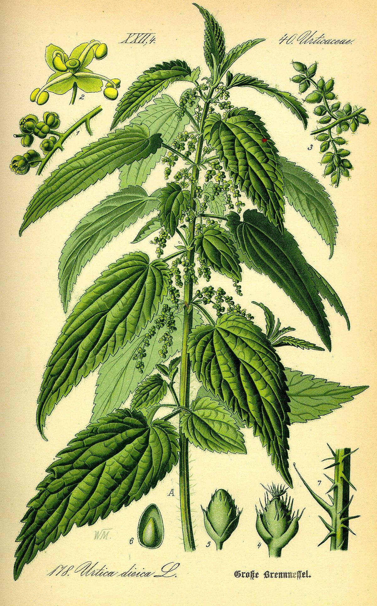 hierbas medicinales para el té verde de próstata al