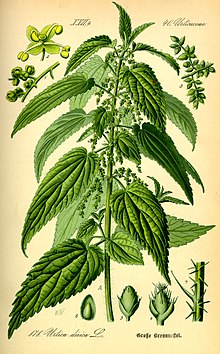 Stinging nettle - Wikipedia, the free encyclopedia