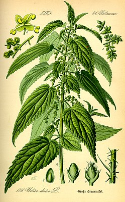 Great nettle (Urtica dioica), illustration