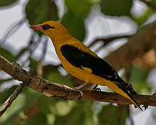 Indian Golden Oriole (Oriolus kundoo), male at Secunderabad W IMG 6714.jpg