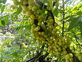 Indian Gooseberries ripe.JPG