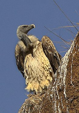Indian Vulture- Gyps indicus.jpg