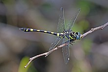 Indian common clubtail (Ictinogomphus rapax) male 3.jpg
