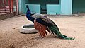 Indian peafowl at Chittagong Zoo (08).jpg