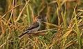 Indian silverbill- Euodice malabarica.jpg
