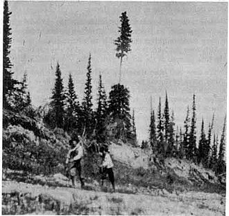 Lobstick - Indian tracking past lobstick near the Hayes River Canada, taken circa 1910