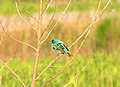 Indigo bunting at sunrise (6248017144).jpg