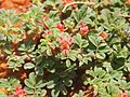 Indigofera linnaei flowers and foliage.jpg