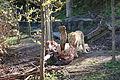 Indischer Löwe Zoo Zürich 6.JPG