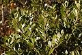 Inkberry Ilex glabra 'Compacta' Leaves 3008px.jpg