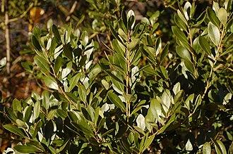 Ilex glabra - 'Compacta' leaves