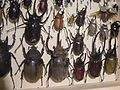Insect Safari - beetle 55.jpg