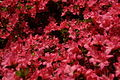 Inside-azalea-bush - West Virginia - ForestWander.jpg