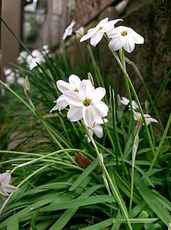 Ipheion uniflorum11.jpg