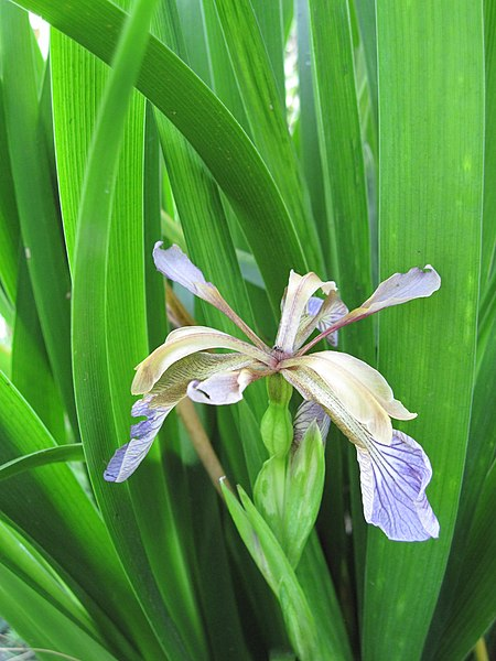 Flower of an Iris foetidissima