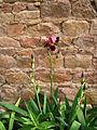 Iris pourpre et mur de grès.jpg