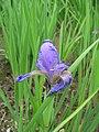 Iris spuria Bastard-Schwertlilie 2007-05-13 395.jpg