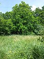 Iris variegata sl60.jpg