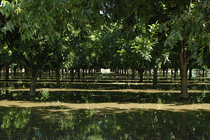 Pecan - Pecan trees being irrigated in Anthony, New Mexico