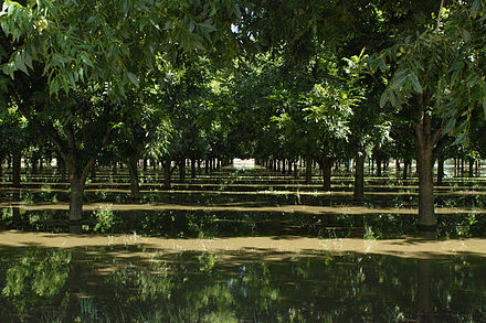 Pecan trees being irrigated in Anthony, New Mexico Irrigating Pecans.jpg