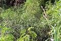 Israel. Indian Silverbill (15417159711).jpg