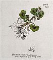Ivy-leaved buttercup (Ranunculus hederaceus); flowering stem Wellcome V0044222.jpg