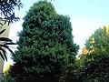 Ivy on poplar.jpg