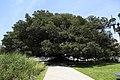J34 574 Plaza Lavalle, Gomero.jpg