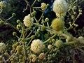 JNU Tree Yellow White Flowers.jpg