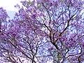 Jacaranda Tree in Bloom-01+ (279282611).jpg
