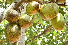 Jack fruits in Kerala 001.jpg