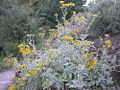 Jacobaea gibbosa.jpg
