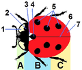 Jacobs24 tagged coccinella septempunctata.png