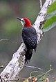 Jamaican Woodpecker (Melanerpes radiolatus) (8082139567).jpg