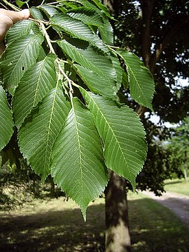 Japanese elm leaves.jpg