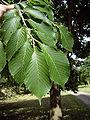 Japanese elm leaves.jpg