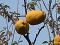 Japanese karin fruits.JPG