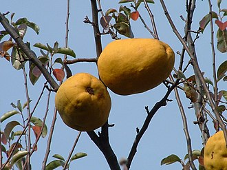 Pseudocydonia - Chinese quince fruits