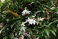 Jasminum polyanthum kz2.jpg