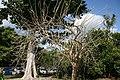 Jatropha curcas 5zz.jpg