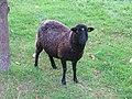 Jielbeaumadier mouton noir parc de sceaux 2013.jpeg