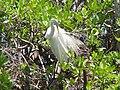 John Herrick Great White Heron 2 06-08.JPG